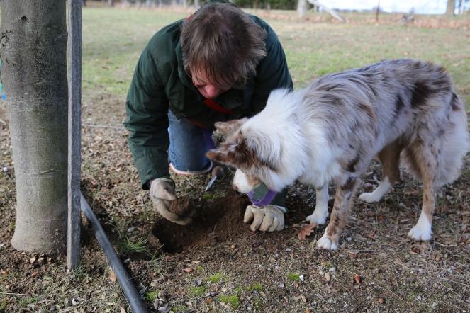 Koko finding a truffle