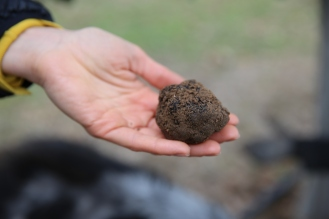 Truffle just out of the ground